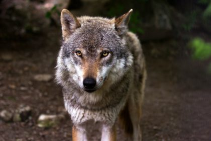 wolfsgebiet