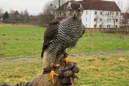Greifvogel Beizjagd Falkn